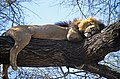 Lion on tree.jpg