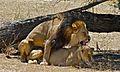 Lions (Panthera leo) mating (6532066723).jpg