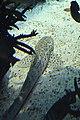 Lisbon, Oceanarium, Stegostoma fasciatum.JPG