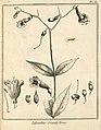 Lisyanthus grandiflorus Aublet 1775 pl 81.jpg