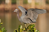 Little Blue Heron 9798