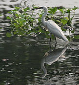 Little Egret- Reflection I Picture 232.jpg