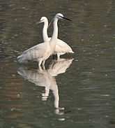 Little Egret (Egretta garzetta)- Adult breeding & Immature in Kolkata W IMG 4405.jpg