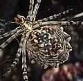 Lobed Argiope. Argiope lobata. U-s - Flickr - gailhampshire.jpg