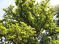 Lojovický dub, koruna.jpg