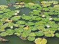 Lokvanji u ZOO vrtu - panoramio.jpg
