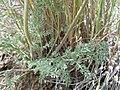 Lomatium foeniculaceum (5833822917).jpg