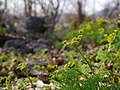 Lomatium grayi 1.jpg