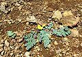 Lomatium martindalei (coast range lomatium) - Flickr - brewbooks.jpg