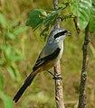 Long-tailed Shrike - Umayanallur.jpg