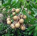 Longan fruits.jpg