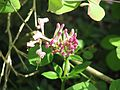 Lonicera hispidula - Flickr - peganum (5).jpg