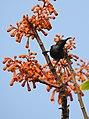 Loten's Sunbird Cinnyris lotenius Male DSCN0107 (13).jpg