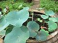 Lotus - താമര 01.JPG