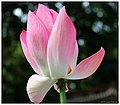 Lotus 14.jpg