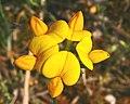 Lotus corniculatus ENBLA01.jpg