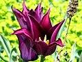 Love this Tulip! (4546260887).jpg