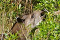 Lowland Tapir (Tapirus terrestris) male browsing leaves ... (29260909771).jpg