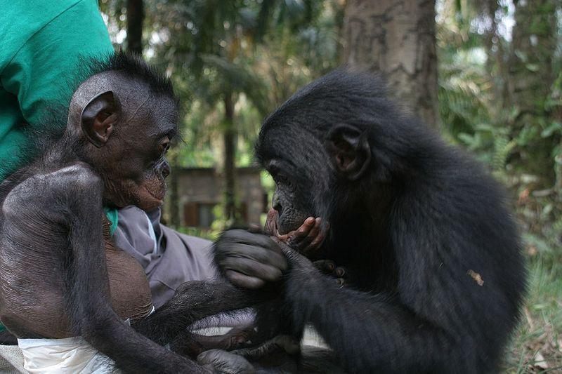 Bonobo Waisenhaus in Kinshasa (c) VanessaWoods