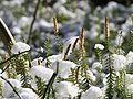 Lycopodium annotinum.jpeg