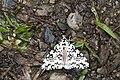 Lymantria concolor concolor (33169559584).jpg
