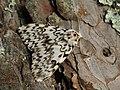 Lymantria monacha ♂ - Black arches (male) - Монашенка (самец) (27003797058).jpg