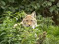Lynx (4029286715) (2).jpg