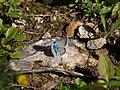 Lysandra coridon CF9A9156.jpg