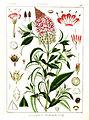 Lysimachia leschenaultii Govindoo.jpg