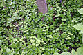 Lysimachia nummularia LJM050601-5447849.jpg