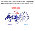 MDC1-tandem-BRCT-domains-with-ligand.png