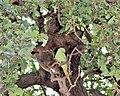 Ma - Psittacula krameri - 2.jpg