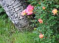 Macedonia-Roses in graveyard from Ottoman period (27696901961).jpg