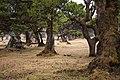 Madeira Fanal2012 - panoramio.jpg