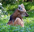 Maehnenwolf Chrysocyon brachyurus Tierpark Hellabrunn-10.jpg