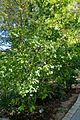 Magnolia figo (Michelia fuscata) - Zilker Botanical Garden - Austin, Texas - DSC08912.jpg
