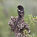 Magpie shrike, Urolestes melanoleucus, at Kruger National Park (44870513435).jpg
