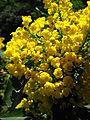 Mahonia aquifolium flowers 11.JPG