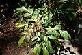 Mahonia gracilipes - VanDusen Botanical Garden - Vancouver, BC - DSC07162.jpg
