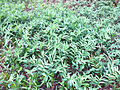 Maianthemum stellatum SCA-0115.jpg