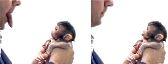 Mirror neuron - Neonatal (newborn) macaque imitating facial expressions