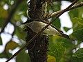 Malabar Woodshrike IMG 3379.jpg