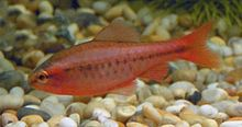 Male Cherry Barb 700.jpg