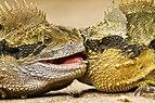 Male Eastern Water Dragons Fighting (IMG8022).jpg