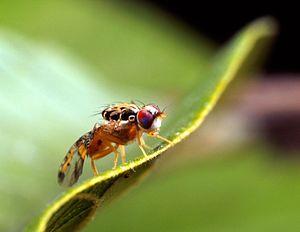 SENSOR-Pesticides - Ceratitis capitata, the Mediterranean fruit fly (Medfly)