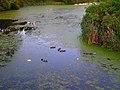 Mallard Ducks in the Lagoon - panoramio.jpg