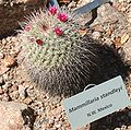 Mammillaria standleyi - Desert Botanical Garden.jpg