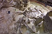 Partially excavated mammoth skeleton