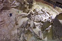 Partially excavated mammoth skeleton, 26,000 years old