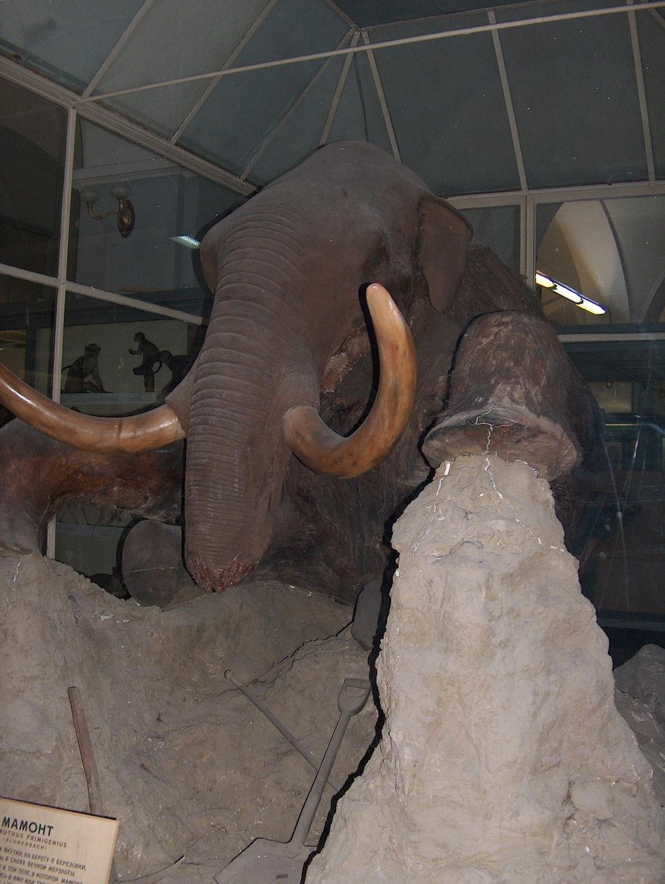 Mammuthus primigenius St Petersbu 2